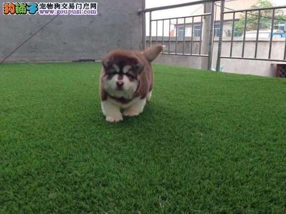 高品质阿拉斯加幼犬质量三包 完美售后1