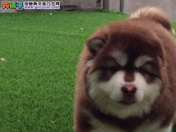 高品质阿拉斯加幼犬质量三包 完美售后3