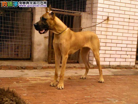 极品 大丹犬保证 纯种健康 CKU国际认证犬舍