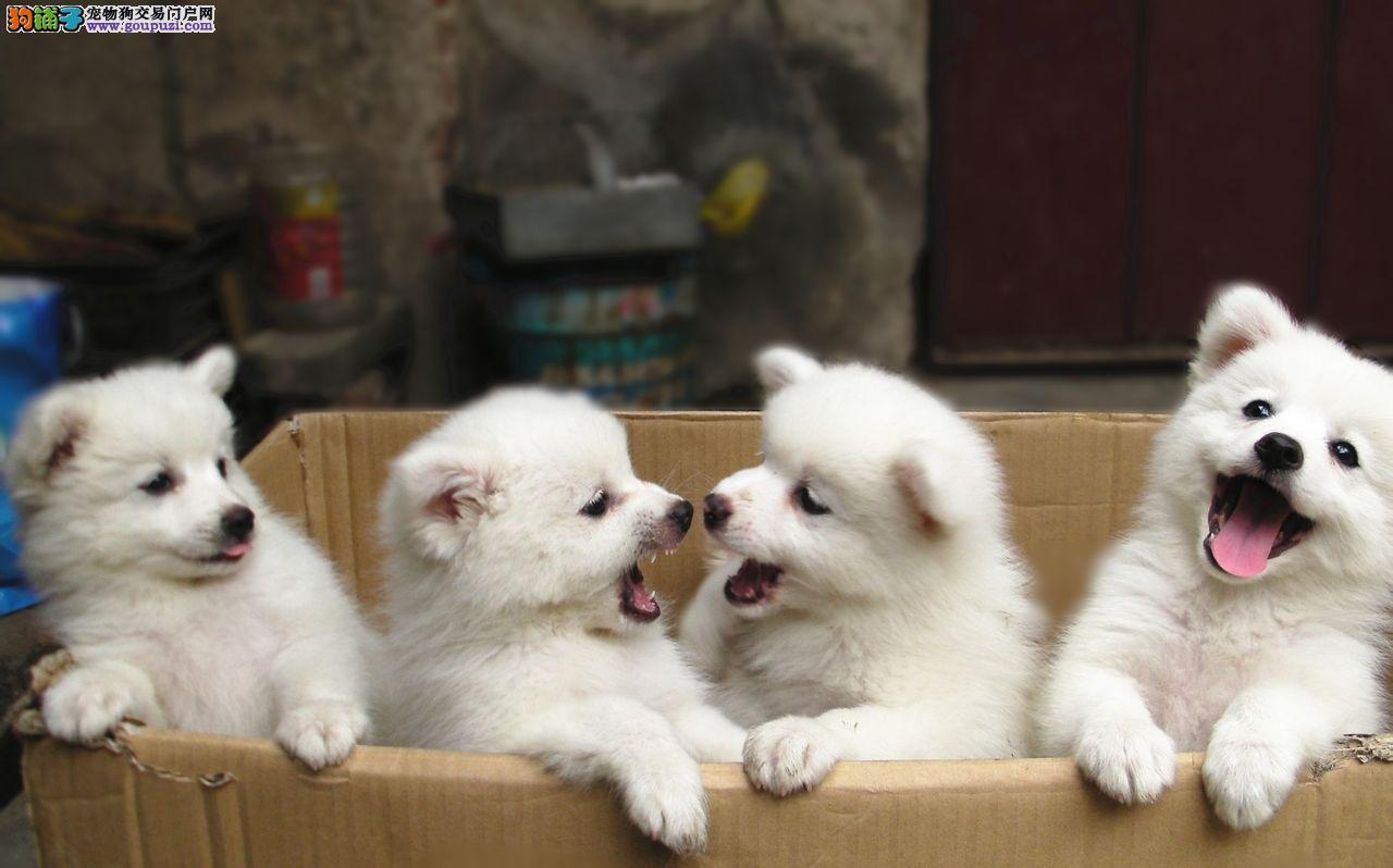 纯种银狐幼犬正规犬舍出售 签订协议
