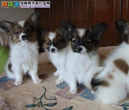 纯种 赛级 蝴蝶犬多只可选 正规犬舍出售 签订协议