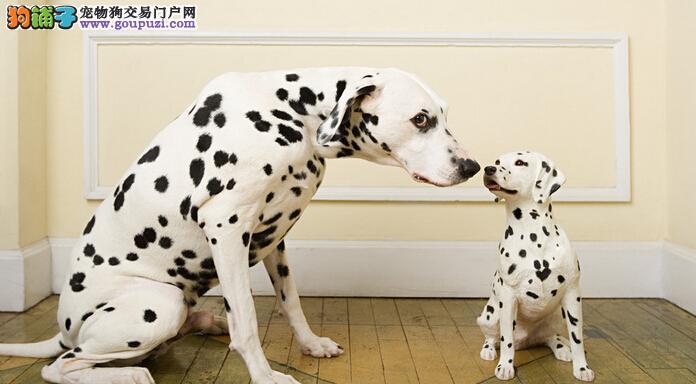 斑点狗宝宝热销中,纯度好100%健康,购犬可签协议2