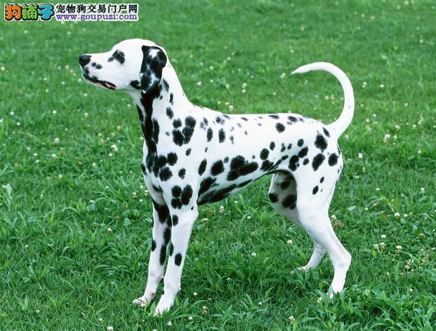 纯种斑点狗 我们确保每一只狗狗都健康 纯种 可签协议