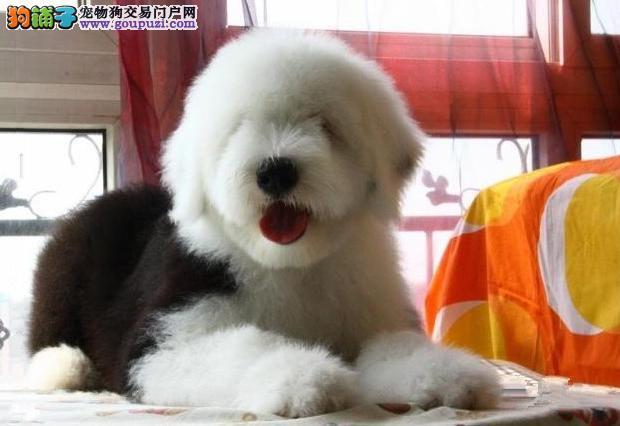 福州哪里有卖高品质白头通背古代牧羊犬 疫苗已做健康纯种