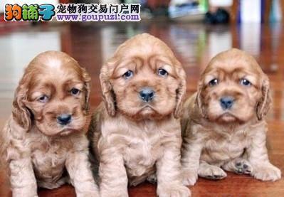 专业繁殖纯种郑州可卡疫苗齐全喜欢微信咨询