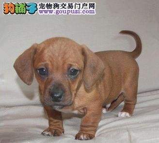 纯种 腊肠犬 多只可选 正规犬舍出售 签订协议