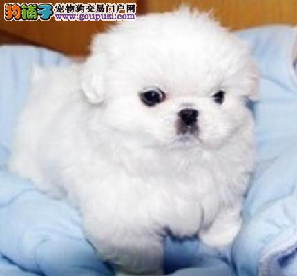 只为繁殖精品售后有保障 上海出售京巴狗幼犬签协议