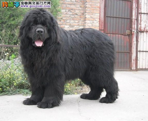 沈阳实体店低价促销赛级纽芬兰犬幼犬签订合法售后协议