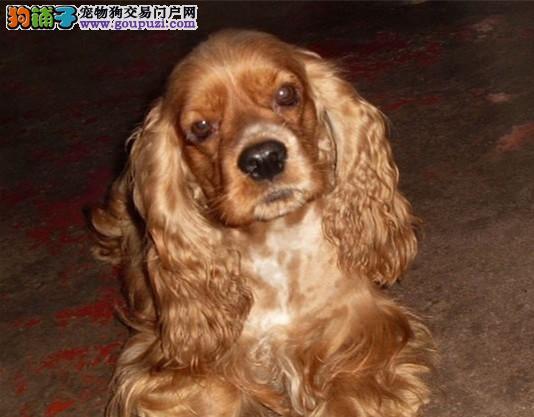 纯种 可卡犬 多只可选 正规犬舍出售 签订协议
