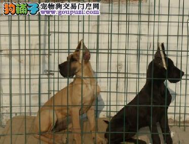 高端大丹犬 保证 纯种健康 CKU国际认证犬舍
