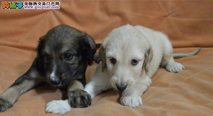 CKU认证犬舍出售高品质阿富汗猎犬狗贩子请勿扰1