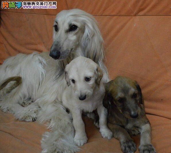 阿富汗幼犬 出售了 驱虫 疫苗已做完 机不可失哦