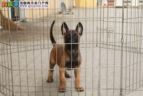 高品质的马犬幼犬出售了 疫苗做完 质量三包