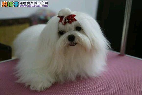 北京猛犬繁殖基地出售自家繁殖马尔济斯宝宝