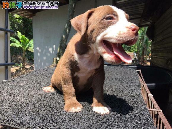苏州正规犬舍专业繁殖阿德曼血统大骨架斗犬比特犬出售