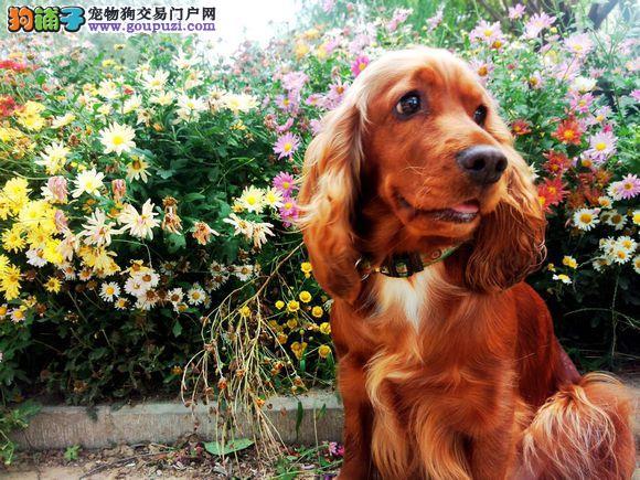 专业繁殖纯种健康可卡幼犬