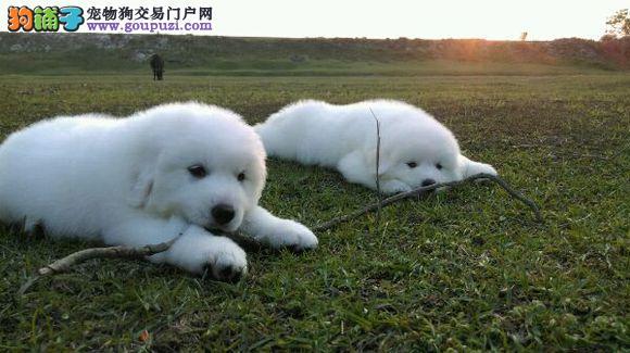 高品质的大白熊幼犬出售了 疫苗做完 质量三包