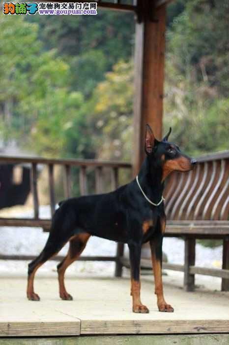 自家繁殖杜宾犬出售公母都有微信咨询欢迎选购
