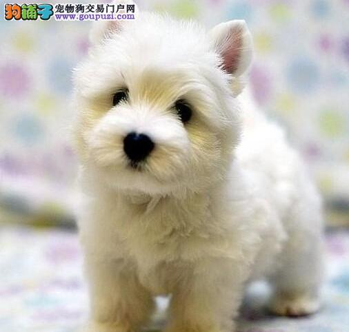 赛级西高地幼犬 保证血统纯度 可送货上门4