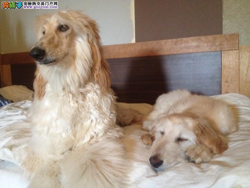 直销阿富汗猎犬幼犬,专业繁殖包质量,签署合同质保