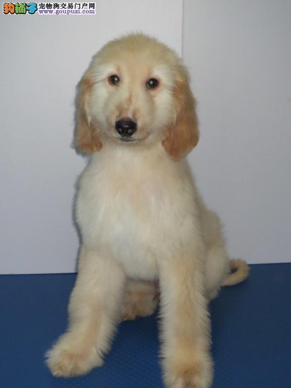 北京市出售阿富汗猎犬 全国包邮 可视频看狗 售后保障