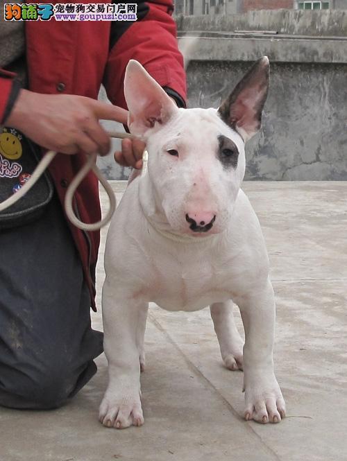 出售/超威猛牛头梗幼犬/健康纯种质保三年