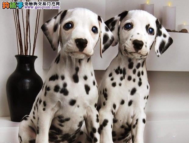 高品质 斑点幼犬出售了 疫苗做完 质量三包