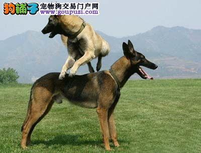 呼和浩特市出售黑脸马犬 比利时马林诺斯犬,马里努阿犬