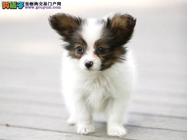 家养纯种蝴蝶犬出售,签健康协议,有疫苗卡