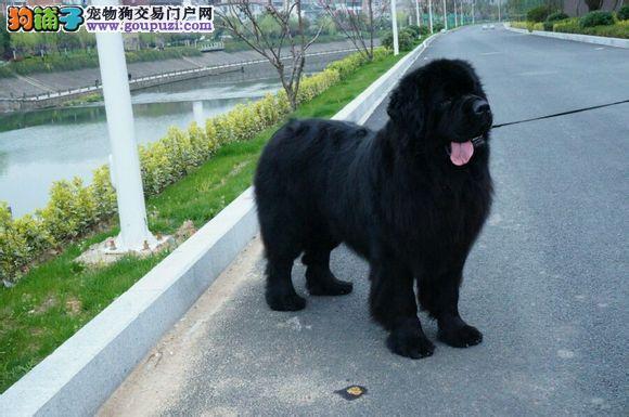 纽芬兰犬最大的正规犬舍完美售后国际血统认证3