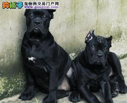 杭州哪里有自家繁殖的纯种憨厚老实的卡斯罗犬宝宝出售2