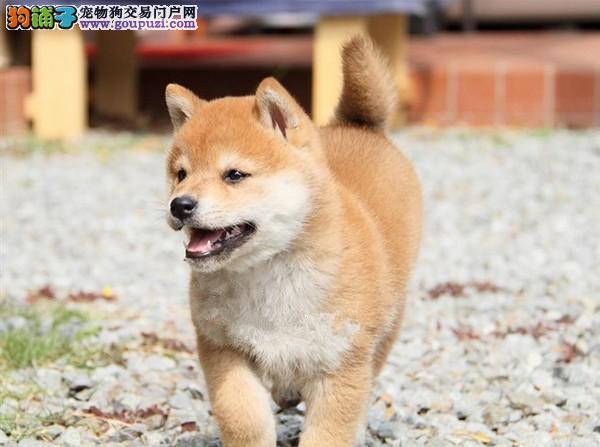 出售自家繁殖柴犬购买可签订协议