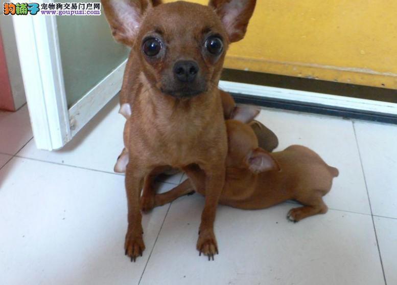 纯种铁包金小鹿犬出售 迷你小鹿犬 多只幼犬可选图片