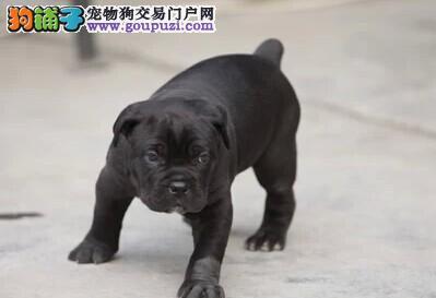 纯种卡斯罗 卡斯罗幼犬 可上门挑选