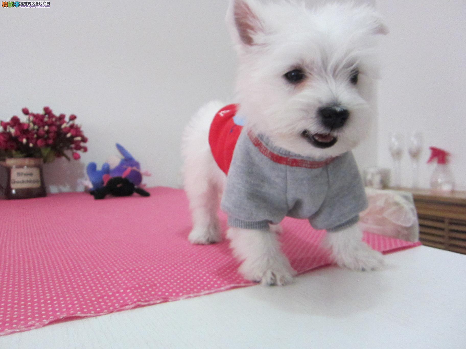 重庆知名犬舍出售多只赛级西高地终身售后送货
