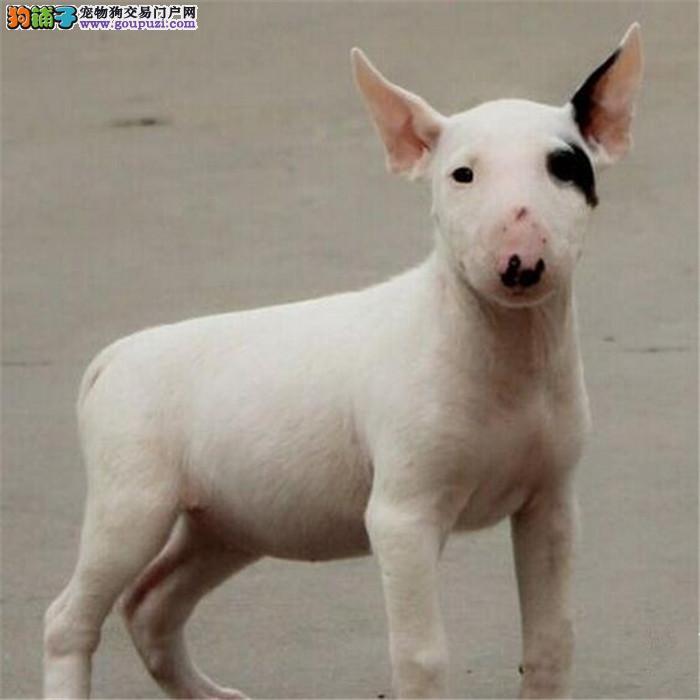 沈阳繁殖基地出售多种颜色的牛头梗血统证书芯片齐全