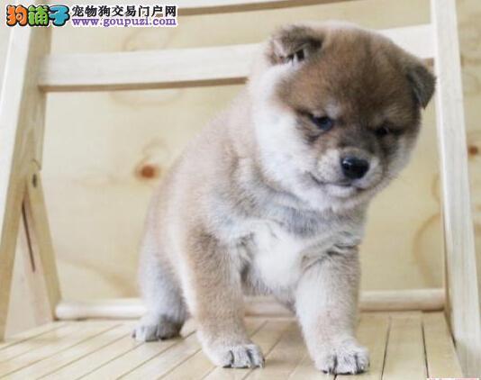 贵阳日系高品质柴犬品相一流 保健康 保售后