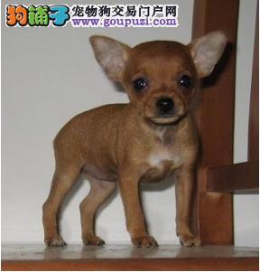多种颜色的赛级小鹿犬幼犬寻找主人国外引进假一赔百