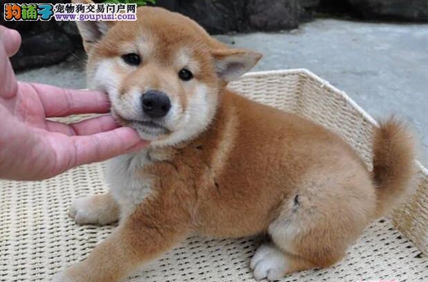长沙最大犬舍出售多种颜色柴犬签订终身协议3