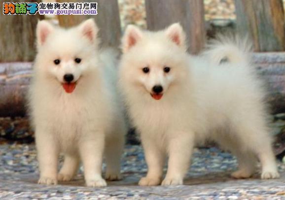 买银狐犬你必须要掌握狗狗的最基本特点
