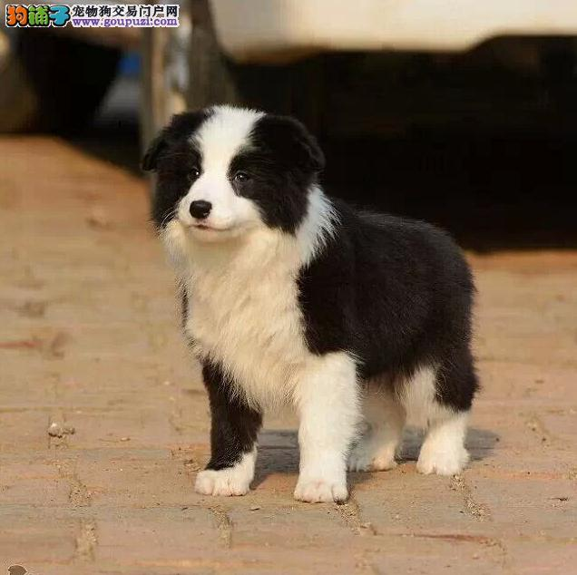 常州售飞盘狗边境牧羊犬赛级品质边牧宝宝价格优惠出售