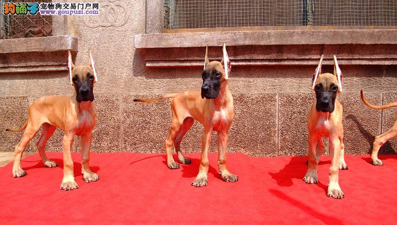 大丹犬西安最大的正规犬舍完美售后欢迎爱狗人士上门选购2