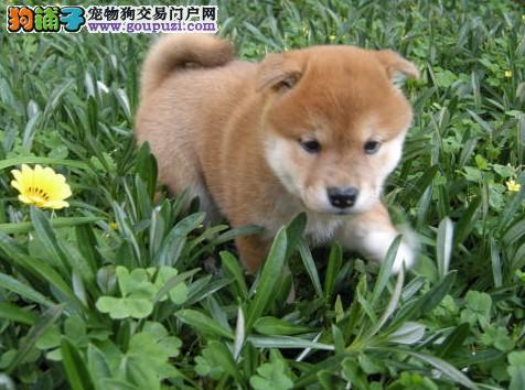 广州售高品质日系柴犬包健康养死包换犬舍直销签协议