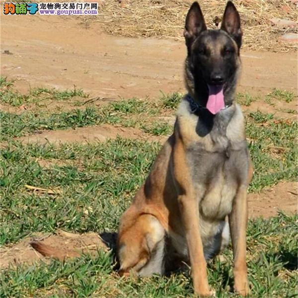 CKU犬舍认证武汉出售纯种马犬外地可空运已驱虫3