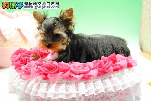杭州出售极品约克夏幼犬完美品相期待您的光临