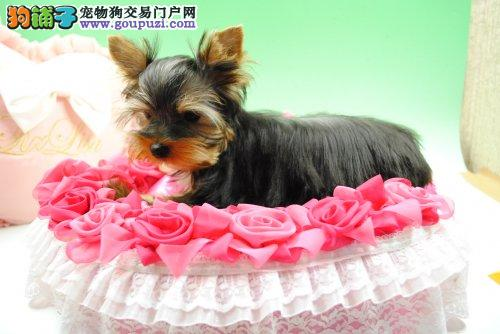 CKU犬舍认证出售高品质贵阳约克夏可以送货上门