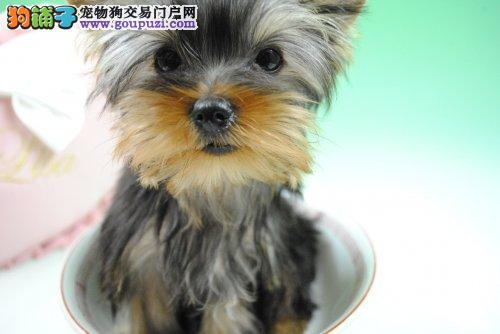 纯血统约克夏幼犬、公母均有多只选择、三包终生协议