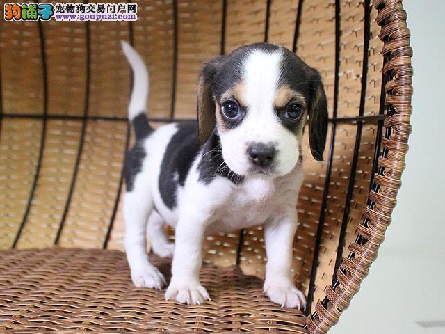 活泼漂亮的比格幼犬 沈阳比格小猎犬幼犬出售