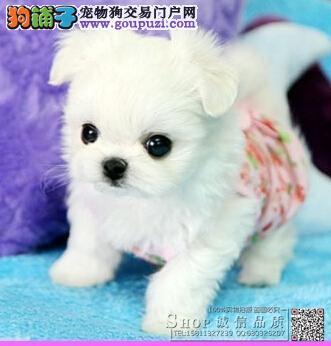 出售茶杯犬幼犬 纯种健康