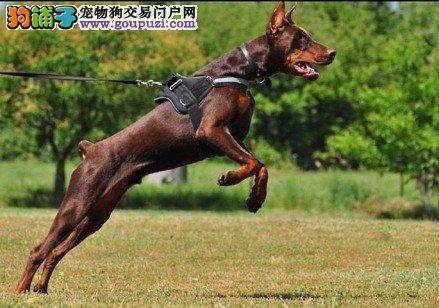 石家庄专业的杜宾犬犬舍终身保健康专业品质一流